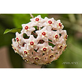 Parens flowers nature hoya