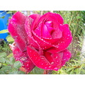 red rose raindrops