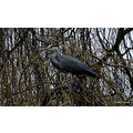Heron tree bird nature wildlife