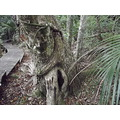 here is two trees growing together the closest with smooth bark is a Kahikatea and the other one ...
