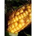corn autumn France nature macro yellow