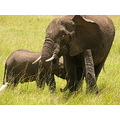 Africa Wildlife Animals Elephant Masai Mara Kenya Bird Egret