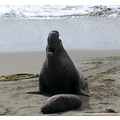 OCEAN ELEPHANT SEAL HUGE