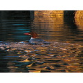 common merganser hen