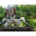 hungry little storks and her mum