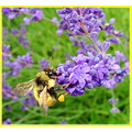 macro nature bee lavender