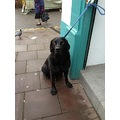 dog pet retriever labrador cute furry black