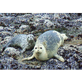 Mama Harbor Seal w/ Pup, May 26, 2008