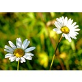 flowers autumn november field grass nature France daisy daisies