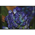 stlouis missouri us usa plant flower macro blue 2007