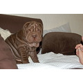 shar pei sharpei puppy animal pet