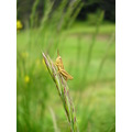 flower nature romania europe grass insect grasshopper