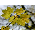 sycamore leaves brownsham trees devon