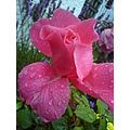 flowers pink rose waterdroplet