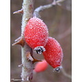 frost fruit red autumn