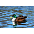 Duck Water Wildlife Reflection Pond Bird Nature Norton