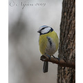 Bird Blue Tit
