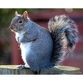 grey squirrel london