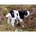 goat kid valley of the rocks lynton devon exmoor