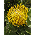 protea yellow yellowfph flower nature naturefph