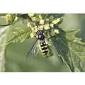 hoverfly wildlife nature