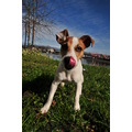 trixie boo biscut jrt jack russell terrier tongue