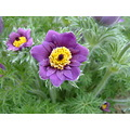 flower purple yellow RHS springtime fletrik