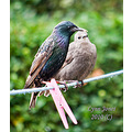 wild bird starling chick mother family carlsbirdclub