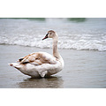 swan bird nature animal sea beach nikon sigma varna bulgaria