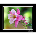 aquilegia flower flowers nature chile spring