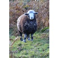 Lake District Sheep Herdwick Ewe