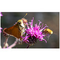 fly butteryfly joepyeweed insect nature