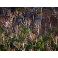 cliff trees birchtrees