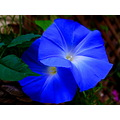 morning glory blue flower closeup