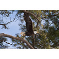 Bald Eagle take off