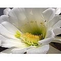 cactus flower bug white macro home Alora Andalucia Spain