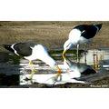 seagulls birds animal nature chile concon