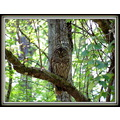 It is easy to see why a big bird like this barred owl could be missed when looking through the tr...