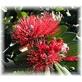 Pohutukawa Flower Again at Wenderholm