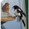 Female and male rose breasted grosbeaks.  Still wonder why he is so flashy and she is so blahhh...
