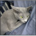 holly russianblue cat animal