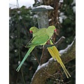 Parrots in the snow