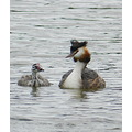 nature water bird great crested grebe young