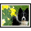 Border collie dog daffodils spring