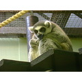 lemur zoo animals thinking