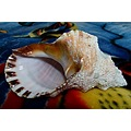 seashell shell nature