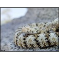 Female white speckled rattlesnake
