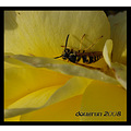california home frontyard macro flower rose insect