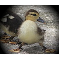 Muscovy duck duckling Tampa Florida