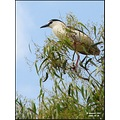 This pic of the Night Heron was taken a month ago. Pay attention to the pinkish legs, opposed to ...